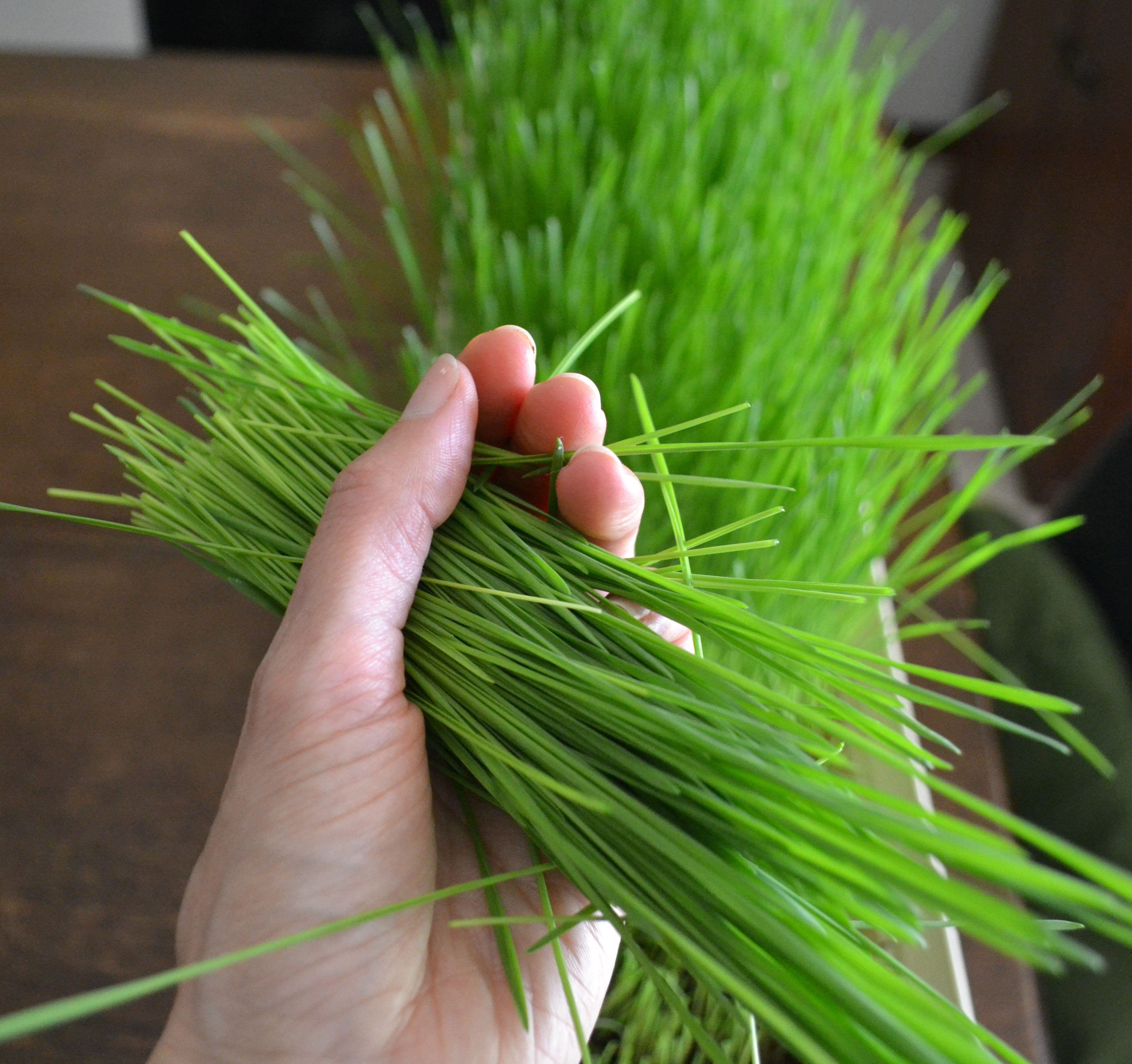 Wheatgrass in Hand
